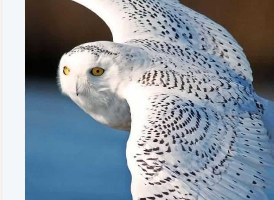 White Owl – Letting Go
